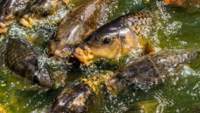 UOKiK skontrolowało ryby