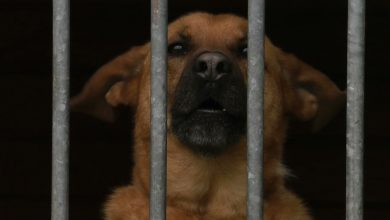 Za psa bez smyczy i kagańca surowe kary! Nowe prawo opracowuje Ministerstwo Sprawiedliwości