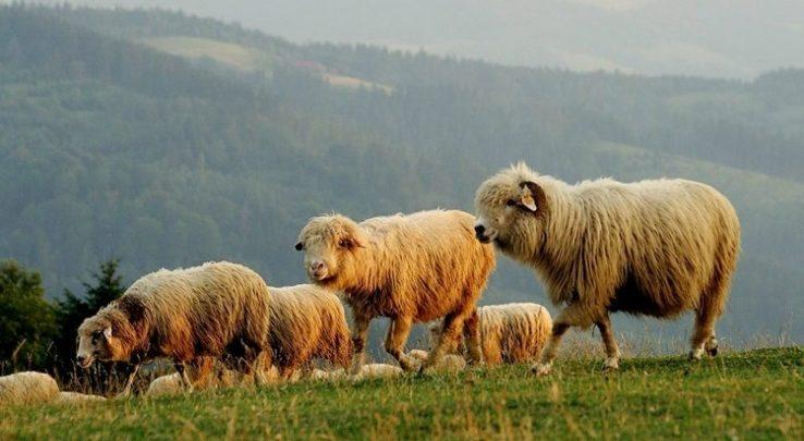 Pół miliona na owce w woj.śląskim. Program Owca Plus rozdaje środki(fot.slaskie.pl)