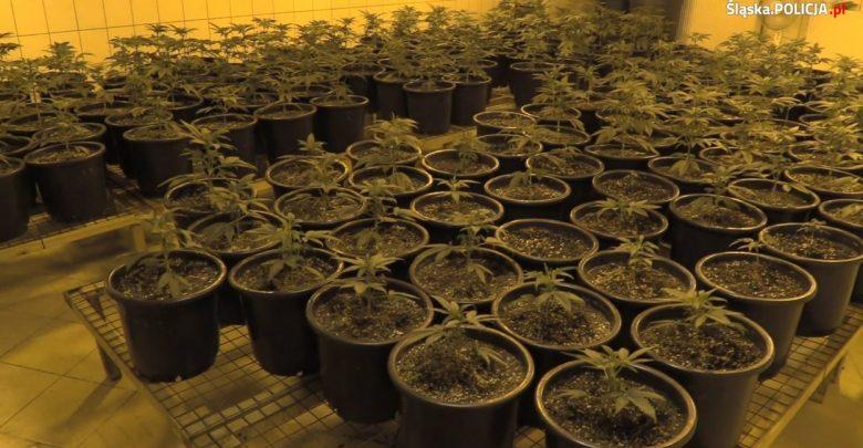 33-letni mieszkaniec Jaworzna okazał się bardzo zdolnym plantatorem konopi indyjskich (fot.policja)