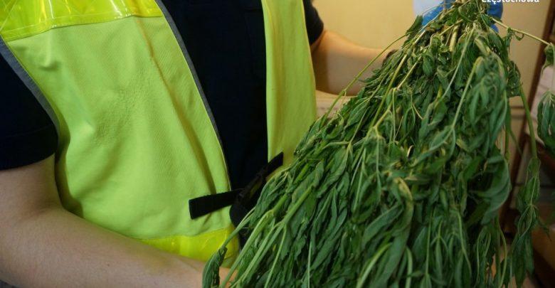 Schował marihuanę między pomidorami. Policjanci jednak wypatrzyli krzaczki (fot.KMP Częstochowa)