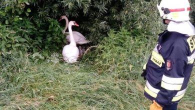 Rodzinę łabędzi wędrującą po obwodnicy w Żorach ratowali wspólnie strażacy i policjanci (fot.policja)
