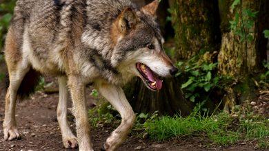 Mieszkasz na Żywiecczyźnie? Uważaj na dzikie zwierzęta, najbardziej na wilki. [fot. poglądowa / www.pixabay.com]