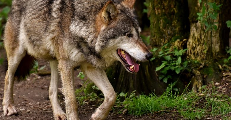 Dzieci zaatakowane przez wilka w Bieszczadach (fot.poglądowe/www.pixabay.com)