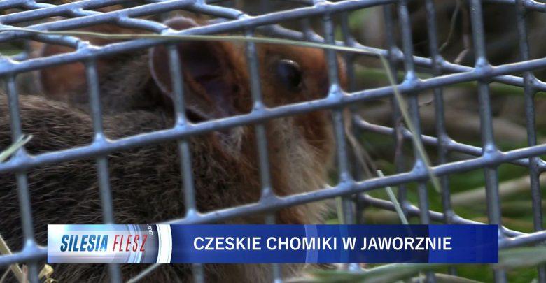 Chomiki europejskie z Czech zamieszkały w Jaworznie