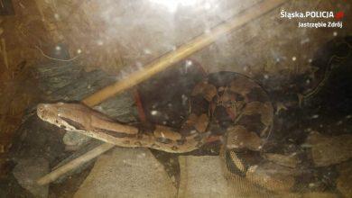 Jastrzębie: 2-metrowy boa dusiciel znaleziony w piwnicy (fot.KMP Jastrzębie Zdrój)