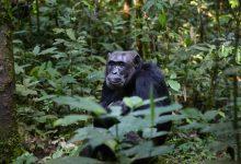 Trwają poszukiwania samicy szympansa, która uciekła z mini zoo w województwie lubelskim (fot.poglądowe - pixabay.com)
