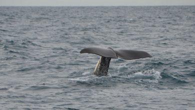 Martwy wieloryb nad Bałtykiem. To trzeci taki przypadek w ciągu ostatnich 40 lat (fot.poglądowe/www.pixabay.com)
