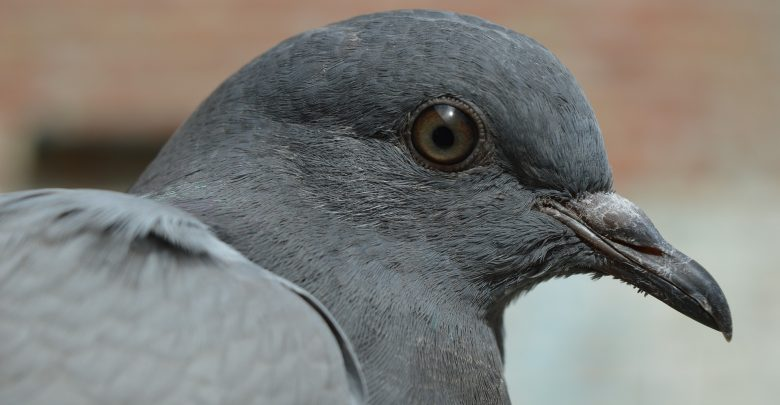 """Rozdeptał gołębia na deptaku. Uważał, że nie zrobił nic złego, bo """"inni ludzie jedzą gołębie i też je zabijają"""" (fot.poglądowe/www.pixabay.com)"""
