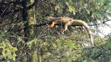 Olbrzymia jaszczurka siedziała na drzewie w Chełmie Śląskim! Ludzie wezwali strażaków (fot. OSP Chełm Śląski)
