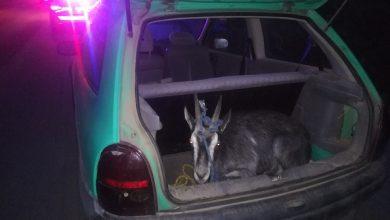 Bał się kontroli drogowej jak ognia, bo był pijany, a w bagażniku miał kozę [ZDJĘCIA] (fot.KPP Ostróda)