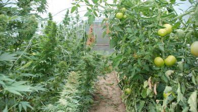 Uprawiali konopie wśród pomidorów, ale to nie wszystko co dwaj bracia mają na sumieniu (fot.Policja Wielkopolska)