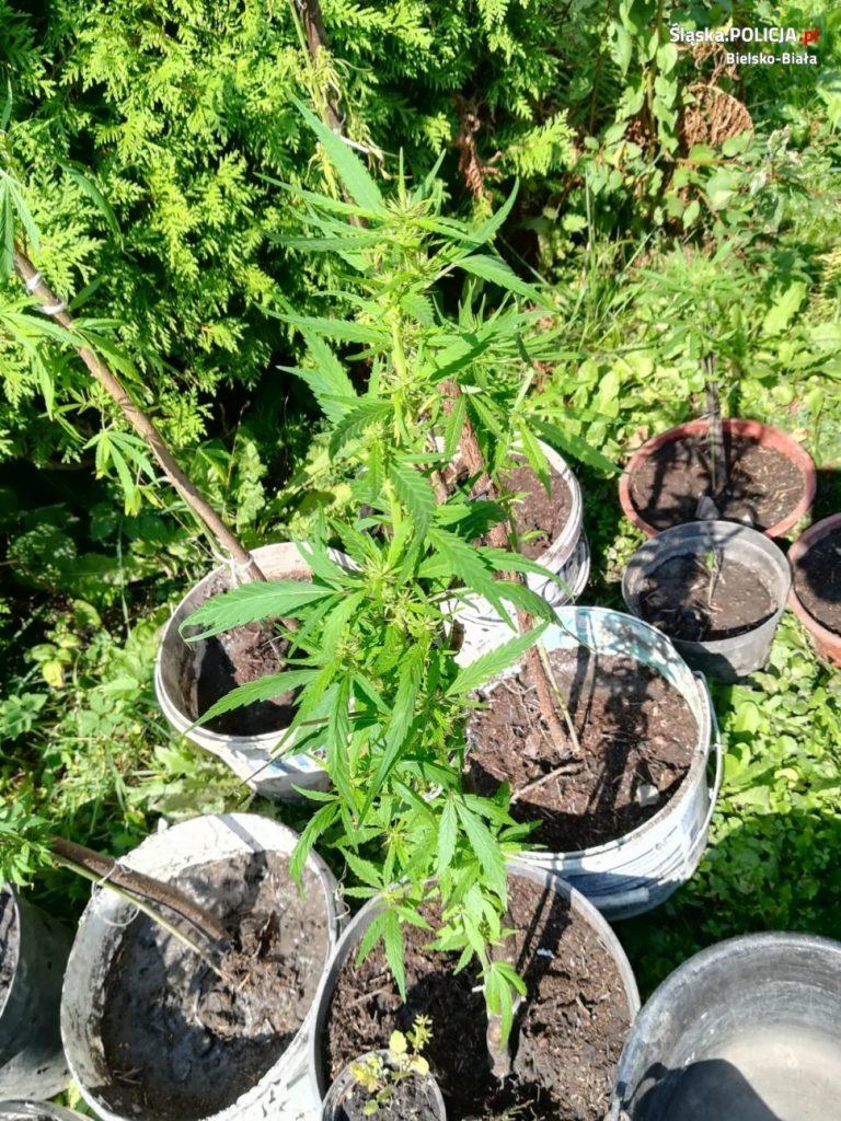 Marihuana spokojnie rosła sobie w ogródku. Policja zlikwidowała kolejną plantację (fot.policja)