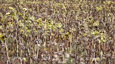 Pół miliona rolników dostało zaliczki dopłat bezpośrednich. To wystarczy na pokrycie zniszczeń z suszy?