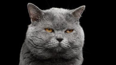 British shorthair grey cat. Sphynx. Grumpy Sphynx. W Centrum Handlowym Europa Centralna odbędzie się Pokaz Kotów Rasowych. Do Gliwic przyjedzie kilkadziesiąt czworonogów(fot.mat.pras)