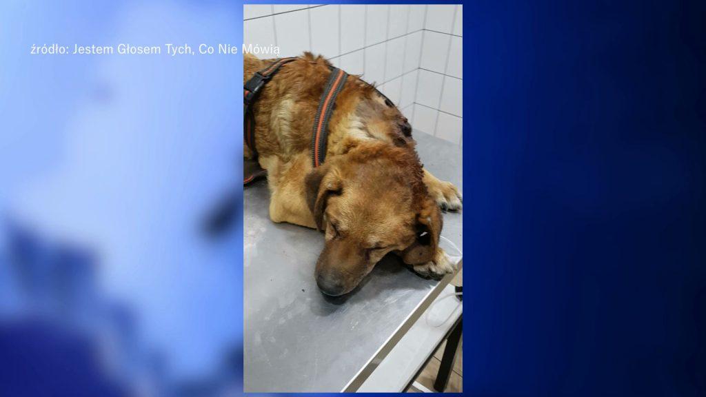 Śląskie: To odrażające! Jak coś takiego można zrobić psu? Gnił za życia!