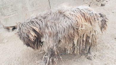 Łańcuch miał wrośnięty w skórę [FOTO] Właścicielka zaniedbanego psa nie widziała problemu (fot.KWP Gdańsk)