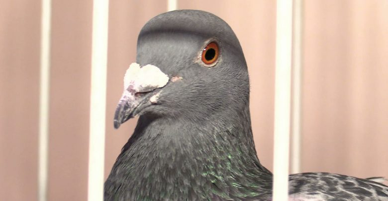 W Sosnowcu rozpoczęły się 11. Międzynarodowe Targi Gołębi Pocztowych, połączone z 68. Ogólnopolską Wystawą Gołębi Pocztowych