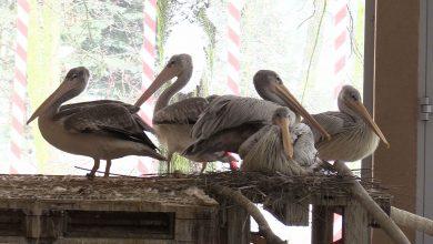 Pelikany małe ze Śląskiego Ogrodu Zoologicznego w Chorzowie mają nowy dom