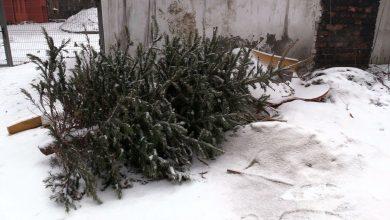 W Świętochłowicach zbierają, w Bytomiu sadzą. Co zrobić z choinką po świętach?