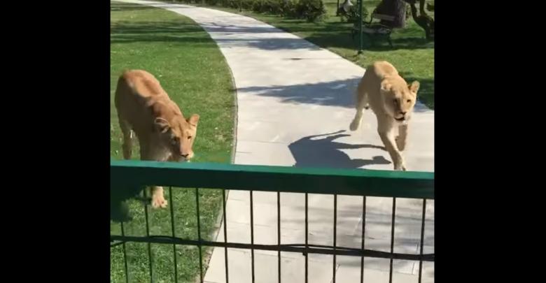 Reakcji zwierząt nie przewidzisz [WIDEO] Lwy rzuciły się na kobietę (fot. youtube.com/MALKIA PARK Big Cats Rescue)