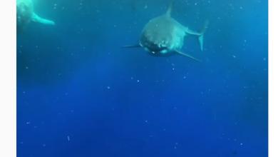 NIESAMOWITE! Oko w oko w największym żarłaczem na Ziemi! To nagranie podbija internet! [WIDEO]