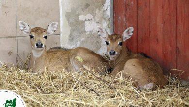 Ale słodziaki! Te zwierzątka przyszły na świat w chorzowskim ZOO [ZDJĘCIA] (fot. ZOO w Chorzowie)