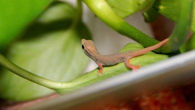 Robiła zakupy. Znalazła gekona w sałacie! (fot.poglądowe/www.pixabay.com)