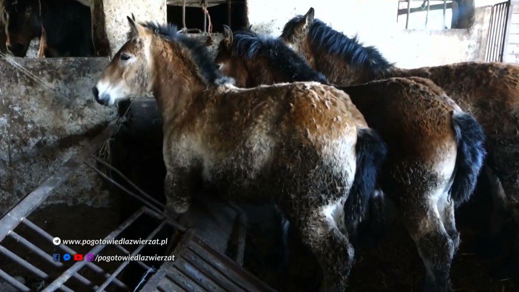 Trzymane na uwięzi, we własnych odchodach, chore zwierzęta przetrzymywane były na jednym z gospodarstw w Wodzisławiu Śląskim