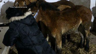 Prokuratura z Wodzisławia Śląskiego sprawdza, czy w jednym z tamtejszych gospodarstw nie doszło do znęcania się nad zwierzętami