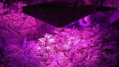 Plantacja marihuany zlikwidowana w Raciborzu (fot.KPP Racibórz)