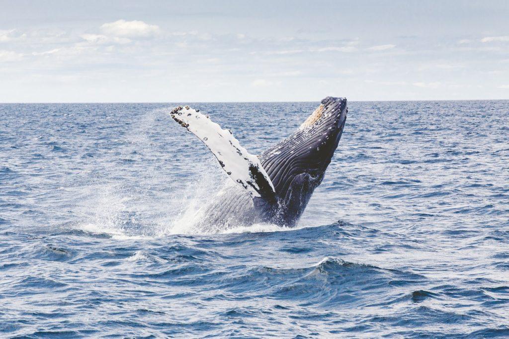 Władze włoskiego regionu Liguria wymyśliły nowy zawód, który jest ściśle związany z morzem. Chodzi o towarzyszenie turystom podczas wycieczek morskich i pokazywaniu ssaków morskich, w tym waleni (fot.pixabay.com)
