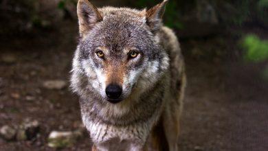Wilki grasują w Kaletach! Takie zwierzę na Śląsku to rzadkość