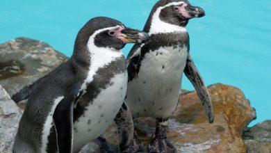 To nie spóźniony prima aprilis. Pingwiny w Chorzowie! (fot. Park Śląski)