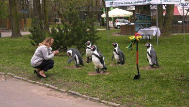Pingwiny wracają do ZOO w Chorzowie! Rozpoczęła się budowa pingwinarium!