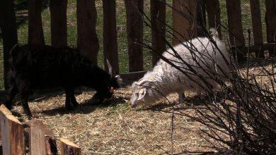 Struś Piluś, kury, gęsi, kozy i owce. Zagajnik Wielkanocny powstał w Będzinie