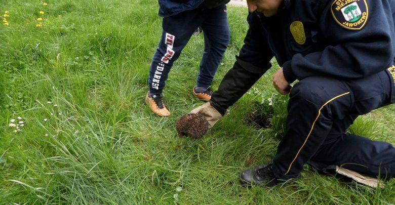 Strażnicy miejscy z Jaworzna uratowali jeża z pułapki [ZDJĘCIA]