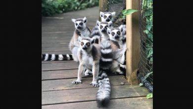 """""""Są czarno-białe. Oswojone i niegroźne"""" - policja poszukuje lemurów, które uciekły z zoo!"""