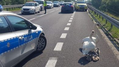 Policja wstrzymała ruch na drodze krajowej. Łabędzie szły do wody ;-) (fot.policja)