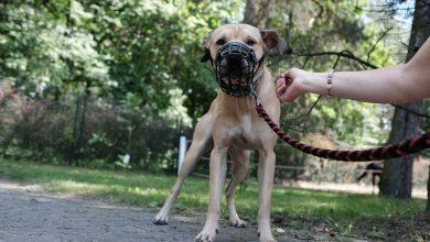 Pitbull pogryzł dziecko w Jaworznie. Co teraz stanie się z psem?