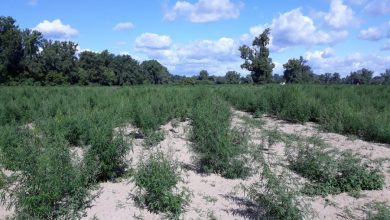 Olbrzymia plantacja marihuany odkryta pod Bydgoszczą! Roślinki są warte 5,5 mln zł! fot.policja