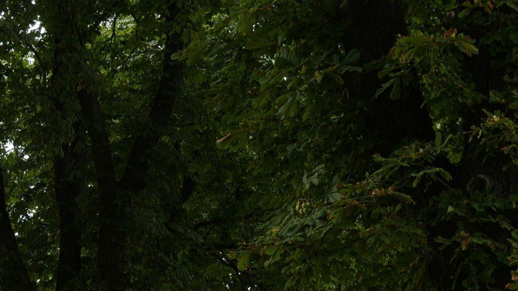 Kasztanowce zagrożone! Miasta chronią je foliowymi opaskami