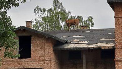 Krowa weszła na dach pałacu! Musieli ją ściągać strażacy! (fot.Ochotnicza Straż Pożarna w Sochocinie)