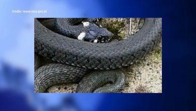 Widzicie TAKIEGO węża? Nie ruszajcie go, ale i nie dzwońcie po strażników!