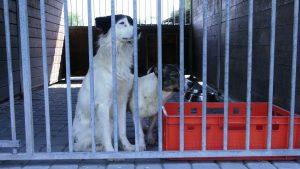 """28 psów trafiło do schroniska prowadzonego przez Towarzystwo Opieki nad Zwierzętami """"Fauna"""" w Rudzie Śląskiej po interwencji tutejszej straży miejskiej"""