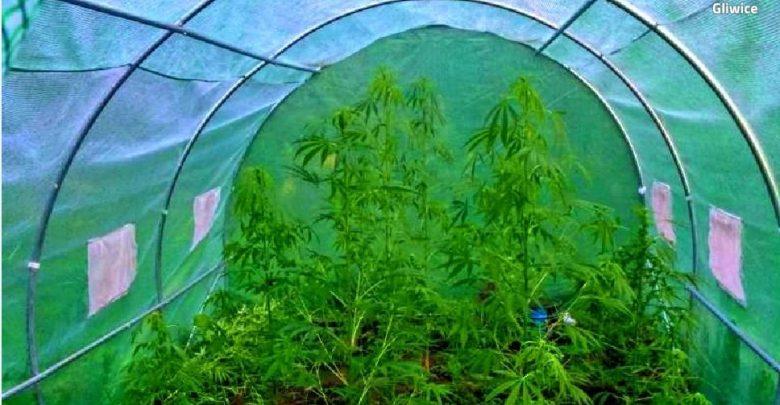 """Gliwice: Ogromne ilości marihuany w Bojkowie. """"Plantator"""" zatrzymany podczas podlewania (fot.KMP Gliwice)"""