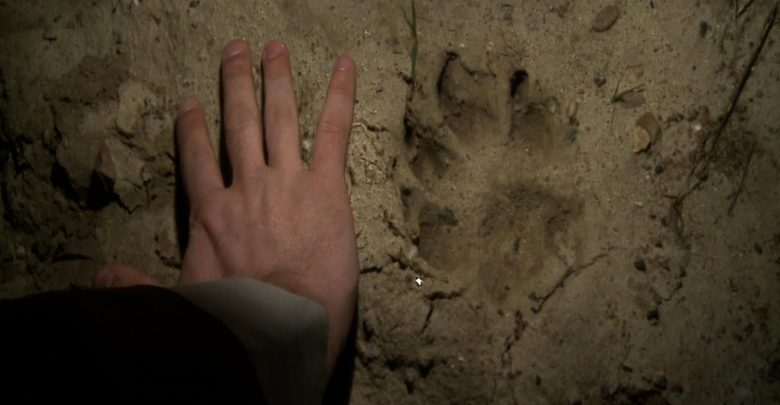Puma grasuje w Beskidach?! Była widziana w okolicach Jeleśni