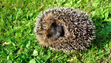 Jeż bez oczu. Wydłubali mu je nastolatkowie (fot.poglądowe/www.pixabay.com)