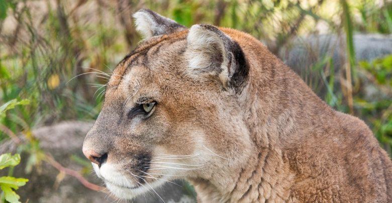 Śląskie: Puma wciąż na wolności! Drapieżnika widziano w Bieruniu, urząd wydał OSTRZEŻENIE! (fot.pixabay)