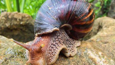 Wybieracie się na Kubę? Kraj opanowały afrykańskie ślimaki olbrzymie (fot.poglądowe/www.pixabay.com)